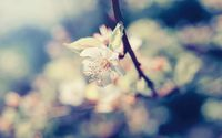 Pear blossom wallpaper 2560x1600 jpg