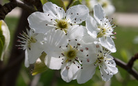 Pear blossoms [2] wallpaper 2880x1800 jpg