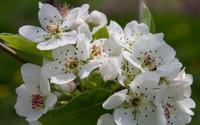 Pear blossoms wallpaper 2880x1800 jpg