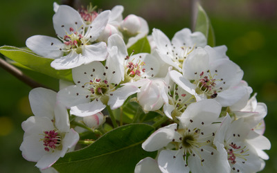 Pear blossoms wallpaper