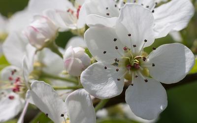 Pear blossoms [3] wallpaper