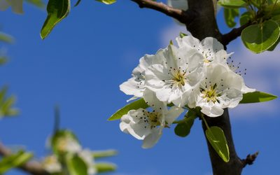 Pear blossoms in a bunch wallpaper