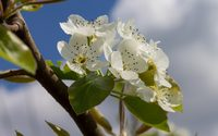 Pear blossoms in the sunshine wallpaper 2880x1800 jpg