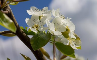 Pear blossoms in the sunshine wallpaper