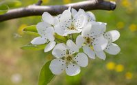 Pear blossoms on the branch wallpaper 2880x1800 jpg
