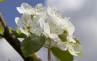 Pear tree blossoms wallpaper