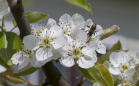 Pear tree blossoms [2] wallpaper 2880x1800 jpg