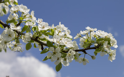 Pear tree branch wallpaper