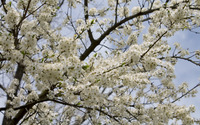 Pear tree in bloom wallpaper 3840x2160 jpg
