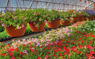 Petunias [5] wallpaper