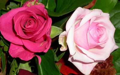 Pink and a pale pink roses wallpaper