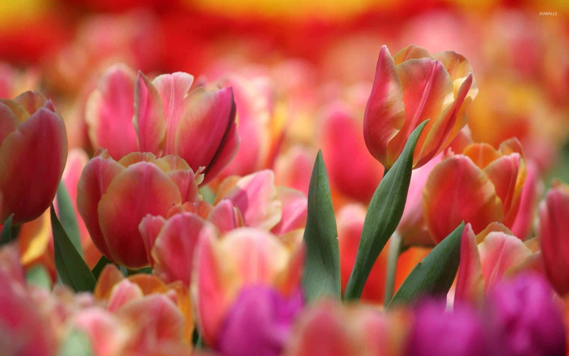 Pink And Orange Tulips Wallpaper Flower Wallpapers 32970