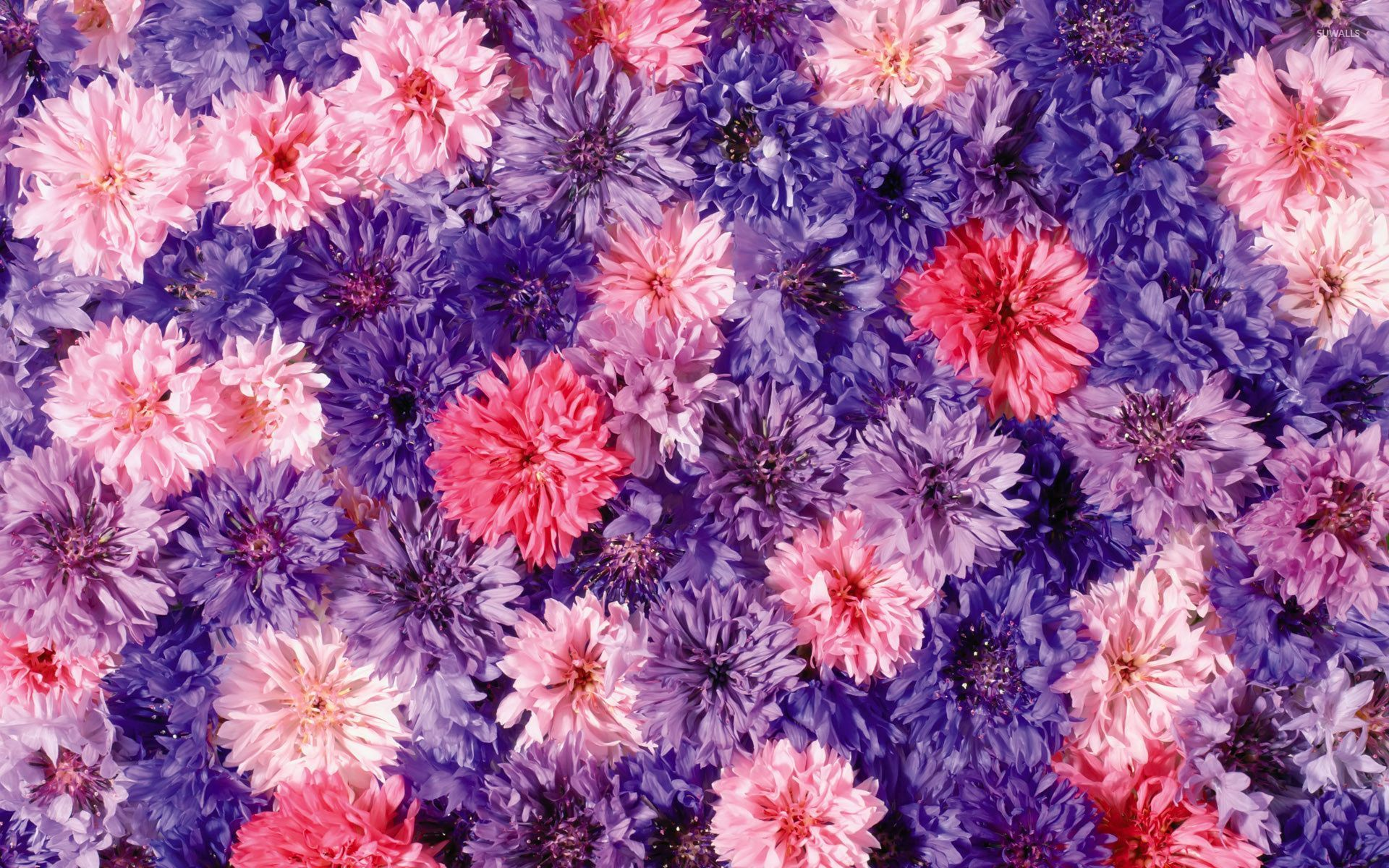 Pink And Purple Chrysanthemums Wallpaper Flower Wallpapers 54007