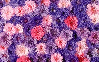 Pink and purple Chrysanthemums wallpaper