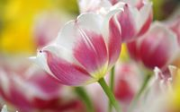 Pink and white tulips wallpaper 1920x1200 jpg