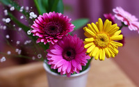 Pink and yellow gerberas wallpaper 1920x1200 jpg