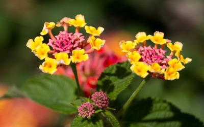 Pink and yellow Lantana wallpaper