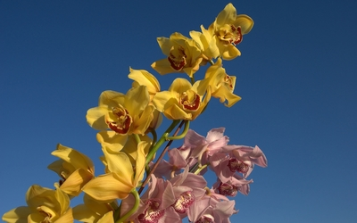 Pink and yellow orchids wallpaper