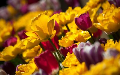 Pink and yellow tulips wallpaper
