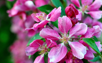 Pink apple blossoms wallpaper 2560x1600 jpg