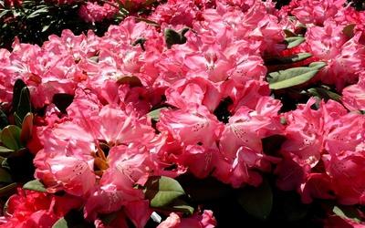 Pink azaleas wallpaper