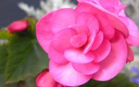 Pink Begonia wallpaper 2560x1600 jpg
