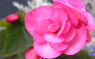 Pink Begonia wallpaper