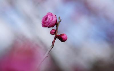 Pink blossom [3] wallpaper