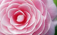 Pink blossom wallpaper 1920x1200 jpg