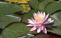 Pink blossomed water lily wallpaper 1920x1200 jpg