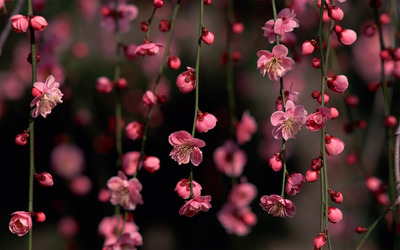 Pink blossoms wallpaper