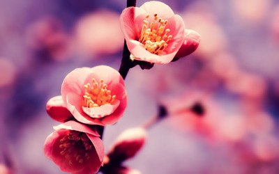 Pink blossoms [3] wallpaper