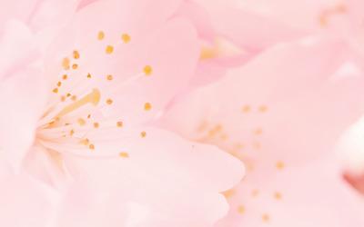 Pink blossoms [5] wallpaper