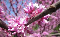 Pink blossoms [14] wallpaper 2560x1600 jpg