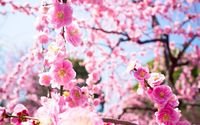 Pink blossoms [9] wallpaper 1920x1200 jpg