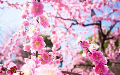 Pink blossoms [9] wallpaper