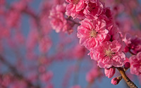 Pink blossoms [2] wallpaper 1920x1200 jpg
