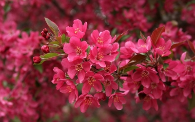 Pink blossoms [6] wallpaper