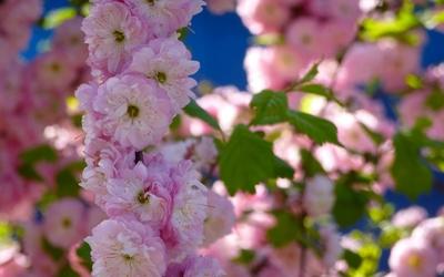Pink blossoms [12] wallpaper