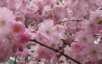 Pink blossoms [17] wallpaper 1920x1200 jpg