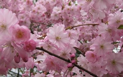 Pink blossoms [17] wallpaper