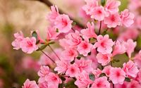 Pink blossoms [8] wallpaper 2880x1800 jpg