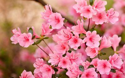 Pink blossoms [8] wallpaper