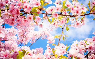 Pink blossoms in the spring wallpaper
