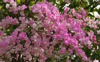 Pink Bougainvillea bush wallpaper 1920x1080 jpg