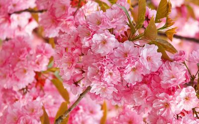 Pink cherry blossoms wallpaper