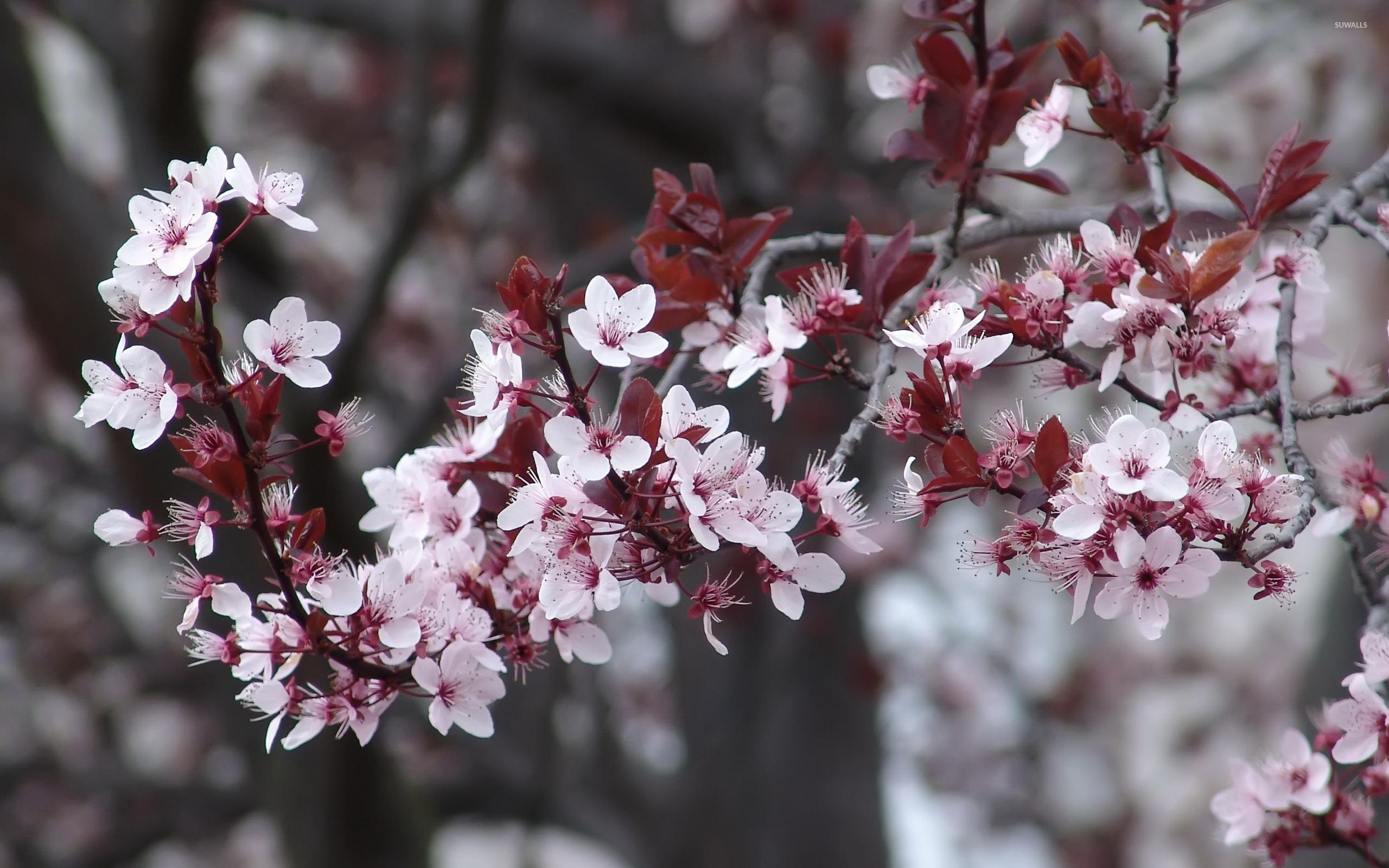 Pink Cherry Blossoms 2 Wallpaper