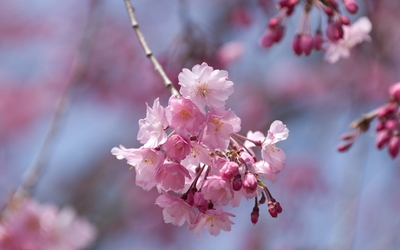 Pink cherry blossoms in a spring tree Wallpaper