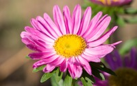 Pink China aster blossom wallpaper 3840x2160 jpg