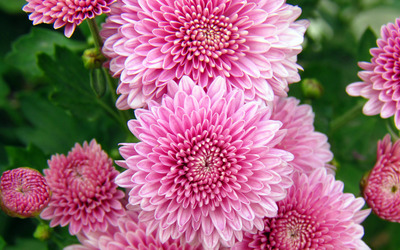 Pink chrysanthemum wallpaper